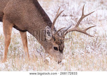 Wild Deer In The Colorado Great Outdoors. Mule Deer Buck Feeding In A Snow Storm