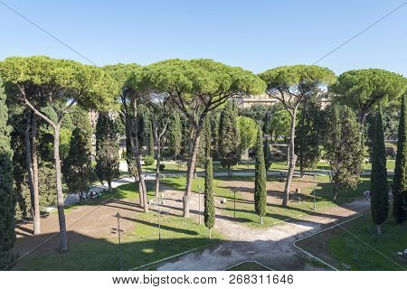 Many Beautiful Sea Pines In The Park, Rome, Italy. View Of Stone Pine, Botanical Name Pinus Pinea, A
