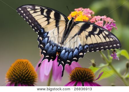 Butterfly on Cone Flowers