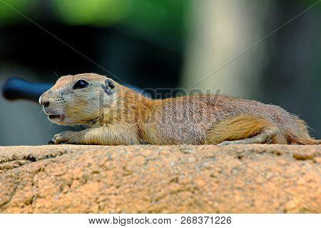 Lone Prairie Dog Lying On A Rock