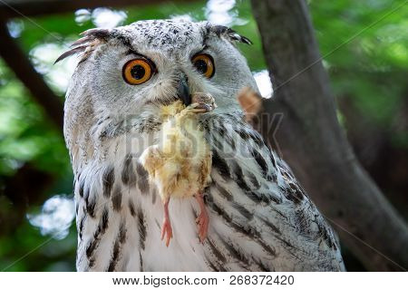 Siberian Eagle Owl with prey in the beak. Bubo bubo sibiricus, the biggest owl in the world. poster