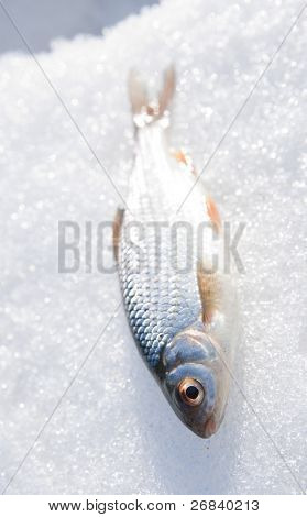 Shiny roach on snow - fresh catch