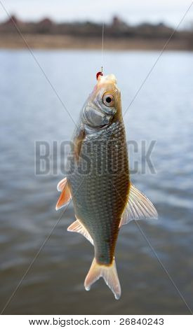 Roach pulled out of water with bloodworm bait in mouth