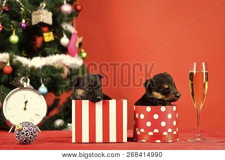 Boxing Day And Winter Xmas Party. Dog Year, Pet On Red Background. New Year Puppy At Clock. Year Of