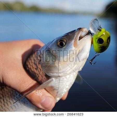 Chub caught on spinning bait against river landscape