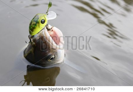 Chub caught on a green hardbait being pulled out of water