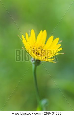 Tragopogon Pratens, Jack-go-to-bed-at-noon, Meadow Salsify, Showy Goat's-beard, Meadow Goat's-beard