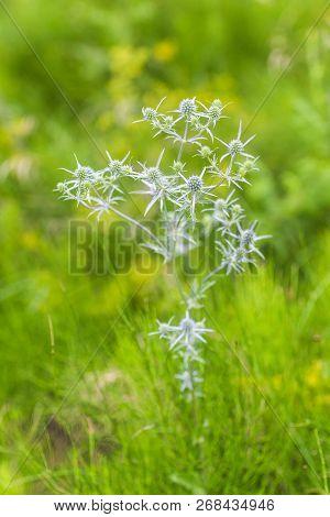 Eryngium Amethystinum, Amethyst Eryngo, Italian Eryngoor Amethyst Sea Holly Light Purple Spiny Plant