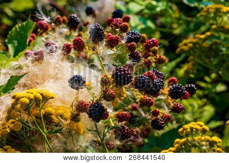 Blackberry Plant Mixed With Tiny Yellow Flowers And Fluffy Cotton Like Foliage