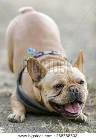 Frenchie Wants To Play. Playful Young French Bulldog Male Bowing Down And Barking At Other Dogs. Off