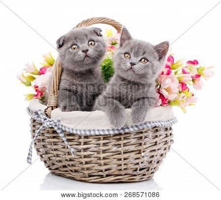 Scottish Straight And Scottish Fold Kittens. Cats With Decorations