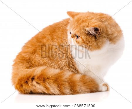 Animal, Cat, Pet Concept - Exotic Cat On A White Background.