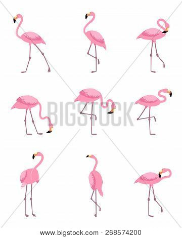 Set Of Isolated Pink Flamingos Or Standing Tropical Greater Flamingo. Exotic Wader Bird Or Wildlife