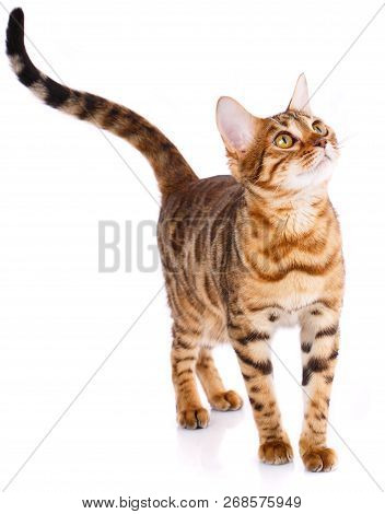 Playful Bengal Cat Looking Up. Pets, Animals And Cats Concept