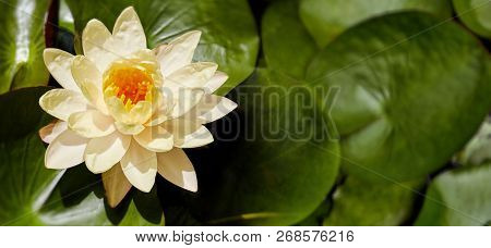 Beautiful Yellow Lotus With Yellow Pollen In The Center Is Blooming With Green Leaves In The Pond, Y