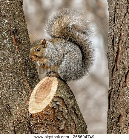 Single Grey Squirrel In A Tree With Cut Branch