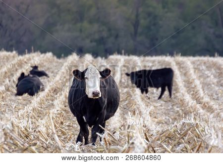 Grouping Of Cattle In Furrowed Field