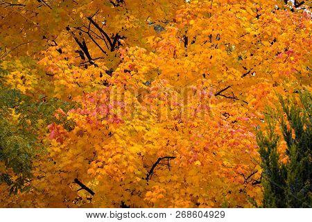 Maple Tree In Autumn Sunlight