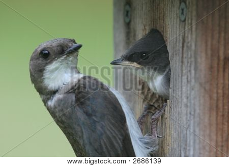 Mother Tree Swallow With Baby