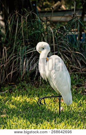 Ornithology and freedom concept. Heron or great egret walking on green grass in Key West, USA. Bird with white feathers and yellow beak on natural background. Wildlife and nature. poster