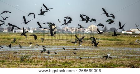 Glossy Ibis Group Disorder Fleeing Flight, Shallow Depth Of Field