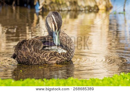 A Pacific Black Duck (anas Superciliosa) Grooming Itself At Herdsman Lake In Perth, Western Australi