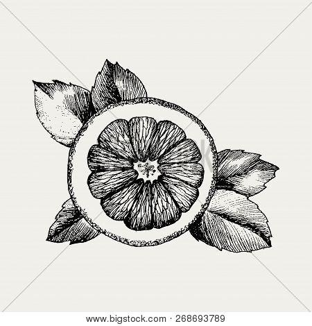Hand Drawn Orange Icon. Vector Decorative Orange Fruit In The Old Ink Style. Orange Icon For Brochur