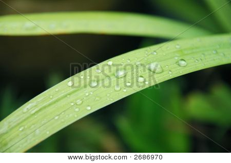 Blades Of Grass With Drops Of Dew
