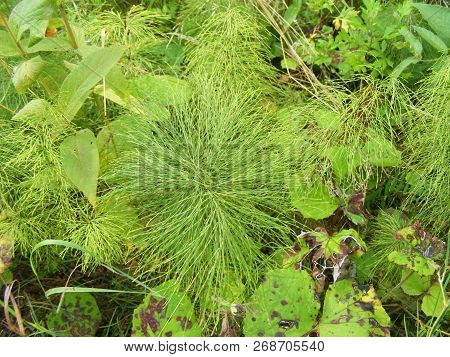 Horsetail. Green Horsetail Closeup. Spring Horsetail Plant.