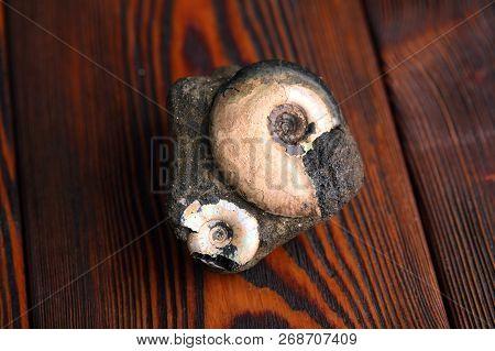 Petrified Ammonites On A Mahogany Wooden Table.