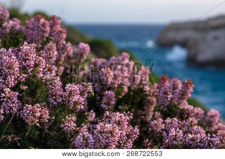 Blossom Mediterranean Pink Heather (erica) Coastline. Malta Flora. Island Of Gozo, Winter. Close Up,