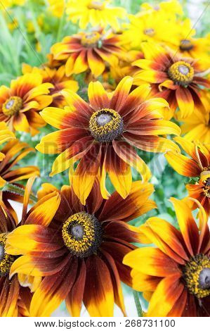 Closeup Of Bright And Colorful Denver Daisies