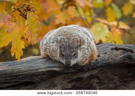 Woodchuck (marmota Monax) Leans Over Log In Autumn - Captive Animal