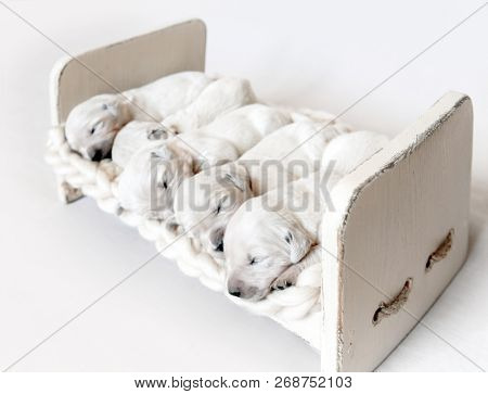 Side view of five cute newborn golden retriever puppies sleeping in the small wooden bed with woolen blanket on the light background