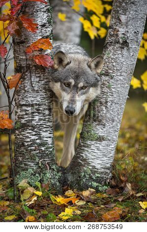 Grey Wolf (canis Lupus) Looks Out From Between Autumn Leaved Trees - Captive Animal