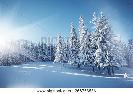 Vivid white spruces on a frosty day. Location Carpathian national park, Ukraine, Europe. Alpine ski resort. Exotic wintry scene. Concept of winter holiday. Happy New Year! Explore the beauty of earth.