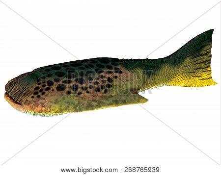 Drepanaspis Fish Side Profile 3d Illustration - Drepanaspis Was A Ray-like Flattened Fish That Lived