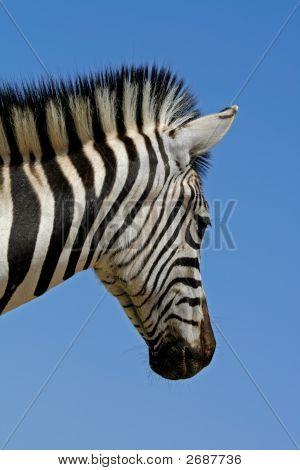 Plains Zebra Portrait