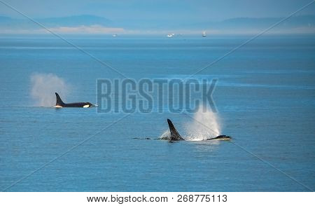 Two Orca Whales Spouting Off The Coast Of British Columbia, Canada.
