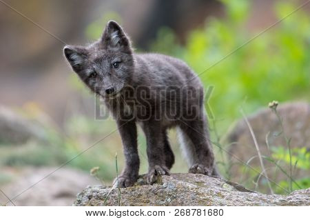 Cute Cub Of An Arctic Fox (alopex Lagopus Beringensis) On A Background Of Bright Green Grass In A Co