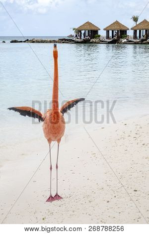 Wild Pink Flamingo On A Caribbean Beach With Cabanas In The Background