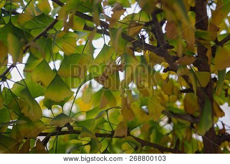 Ginkgo Tree Filled With Colorful Leaves Outdoors