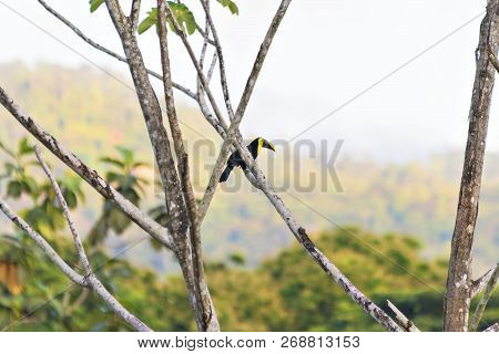 A Keel-billed Toucan Perched On Brown Branch