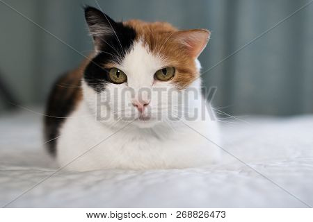 A beautifull female cat, with three colours lying on the coach look at camera poster