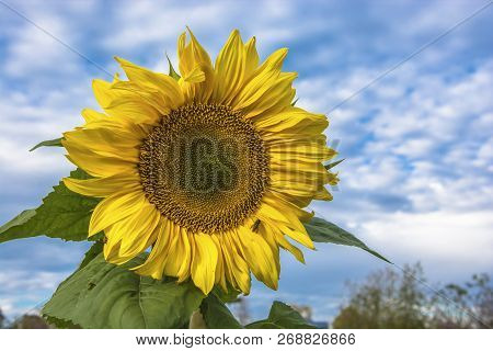 Bright Big Yellow Sunflower With A Bee On The Background Of The Cloudy Sky.