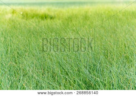 Morning Dew On Fresh Green Grass, Vivid Vibrant Colors On Meadow, Copy Space, Healthy Living, Yoga,