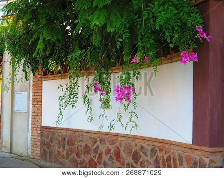 Climbing Bower Vine - Pandorea Jasminoides Against White Wall Topped With Rustic Bricks