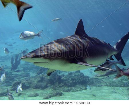 Sharkcobia