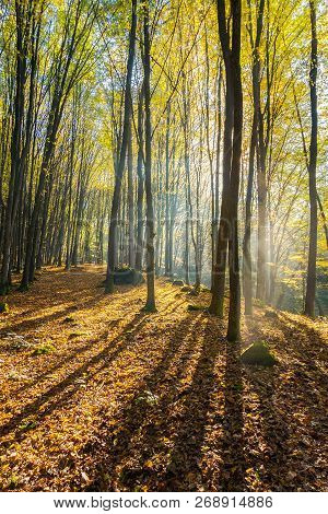 Foggy Morning In Autumn Forest. Beautiful Light Through Fog Among The Trees In Yellow Foliage