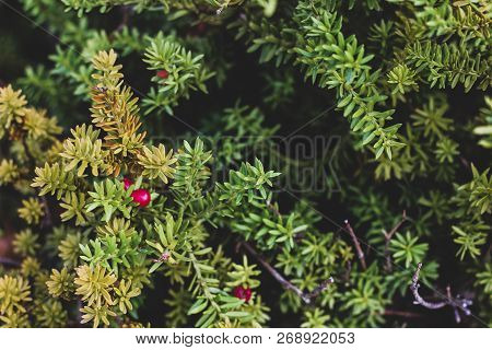 Close Up Picture Of Green Yew Tree With Red Fruits. Background With Coniferous Taxus Baccata Branche